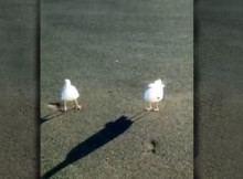 tap dancing segull will work for food